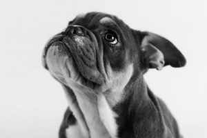 Gilbert the Bulldog Puppy - Pet Photography in Rugby - Emma Lowe Photography