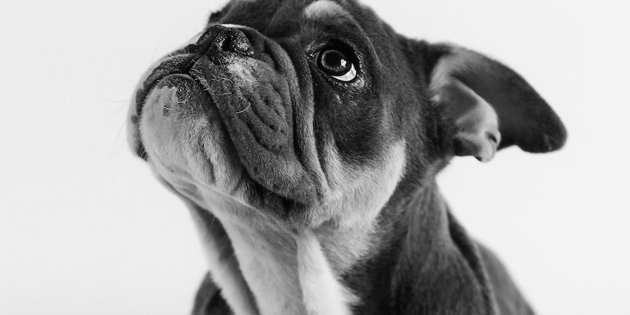 Blog - Gilbert the Bulldog Puppy - Pet Photography in Rugby - Emma Lowe Photography