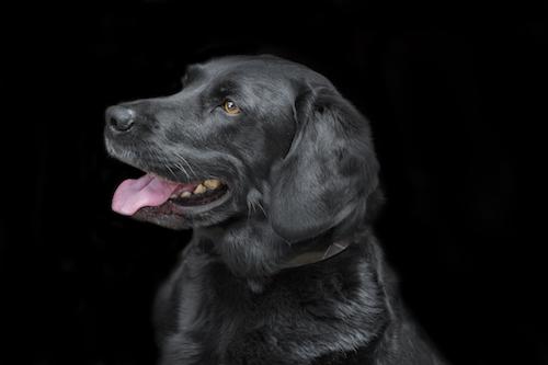 Black Labrador Portrait - Emma Lowe Pet Photography